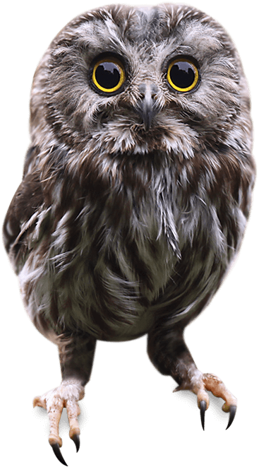 owl-pic
